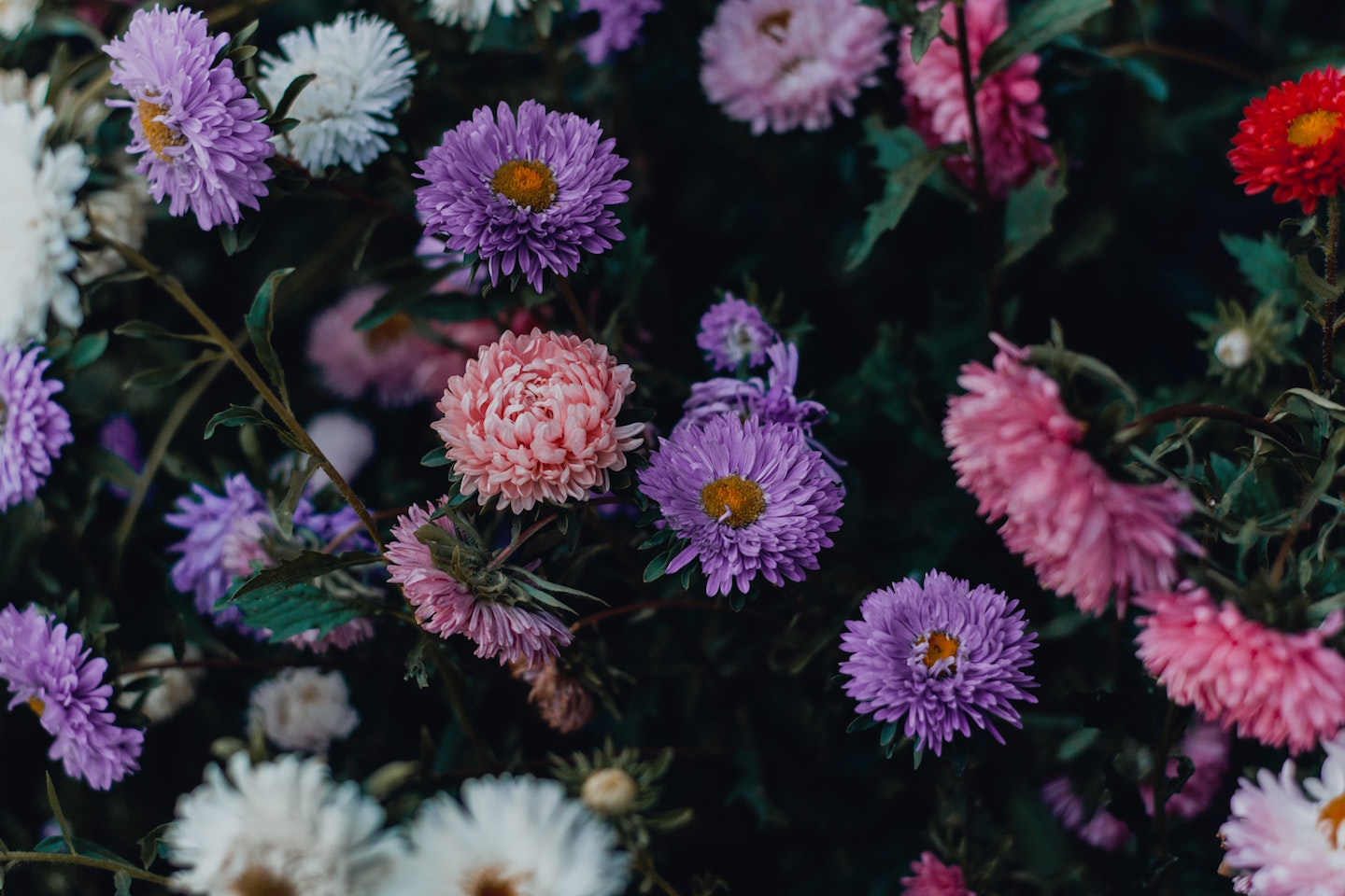Image: mass of purple, pink and white daisy, cheerful and wild.
